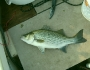hybridstriped-bass-fishing-3
