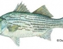 hybridstriped-bass-fishing-4