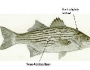 hybridstriped-bass-fishing-7