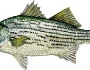 hybridstriped-bass-fishing-8