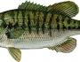 shoal-bass-fishing-1