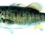 shoal-bass-fishing-4
