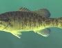 shoal-bass-fishing-5