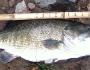 shoal-bass-fishing-6