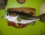 shoal-bass-fishing-7