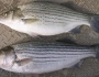 striped-bass-fishing-1