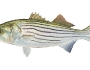 striped-bass-fishing-4