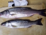 striped-bass-fishing-7