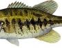 suwannee-bass-fishing-1