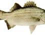 suwannee-bass-fishing-4