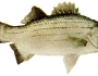 whitesand-bass-fishing-2