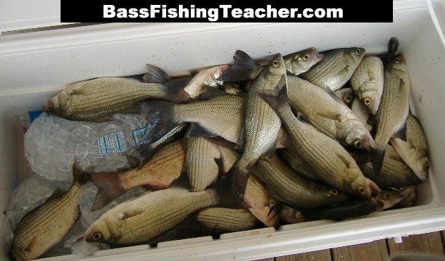 Texas Bass Species Species to The Sand Bass