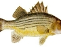 yellow-bass-fishing-4